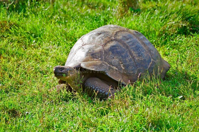 Galapagos Tortoise royalty free stock photo