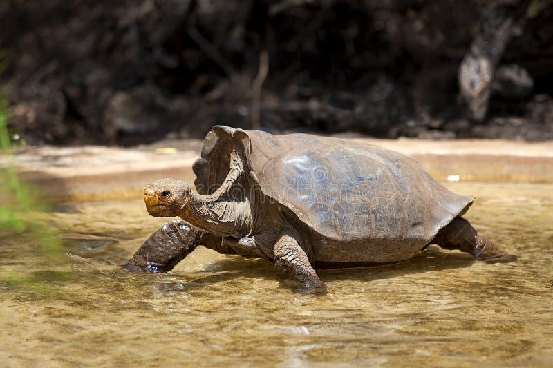 Download Galapagos tortoise stock photo. Image of island, wading - 23561398
