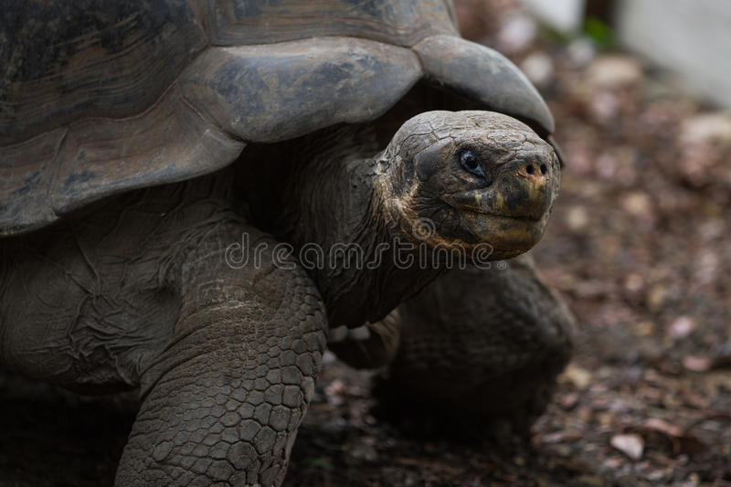 Download Galapagos tortoise stock image. Image of protected, giant - 42171465