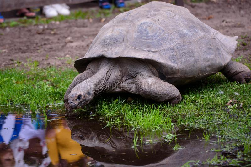 Galapagos Tortoise in de buurt van vijver, tijdens het 19e jaarlijkse wegingsevenement van Galápagos Tortoises in de dierentuin v stock afbeeldingen