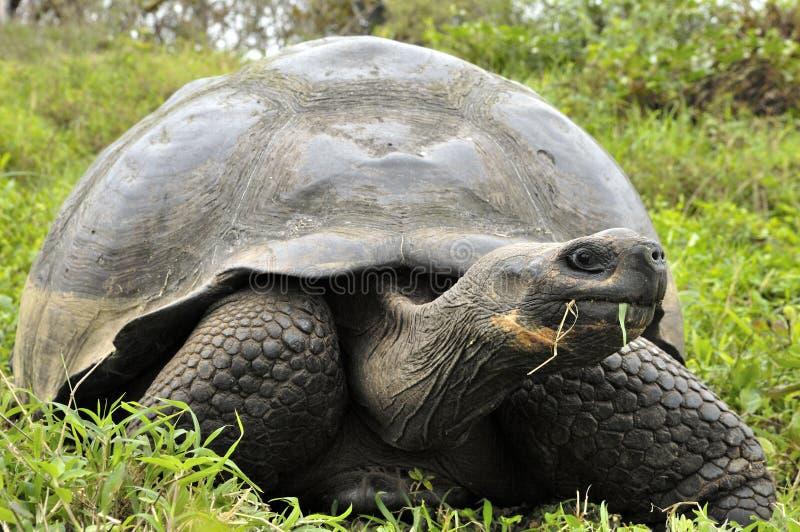 The Galapagos tortoise or Galapagos giant tortoise (Chelonoidis nigra). stock images
