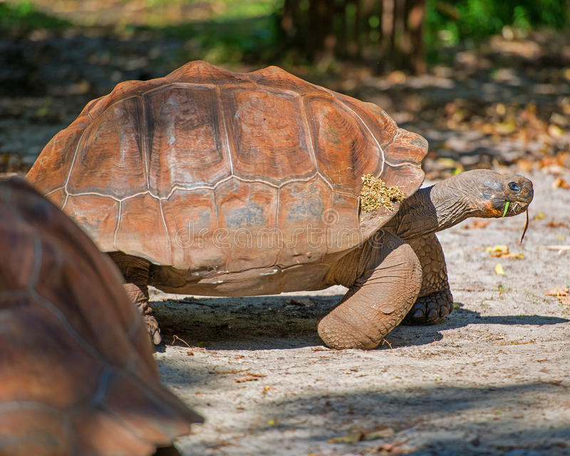 Galapagos Tortoise. Is the largest tortoise in the world stock photos