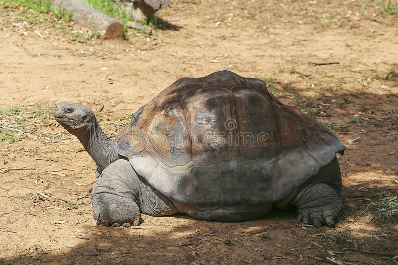 Galapagos tortoise. View at Galapagos tortoise on a sunny day royalty free stock image