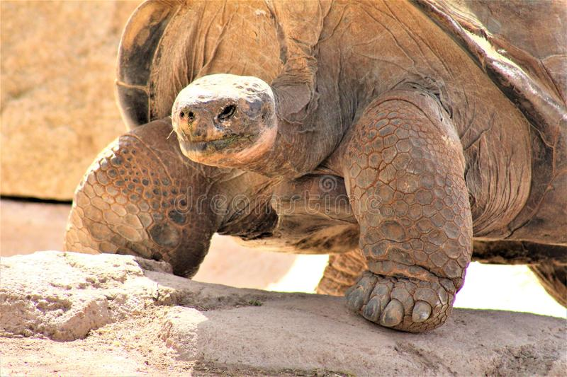 Galapagos Tortoise at the Phoenix Zoo, Arizona Center for Nature Conservation, Phoenix, Arizona, United States. Galapagos Tortoise  walking in the desert royalty free stock photography