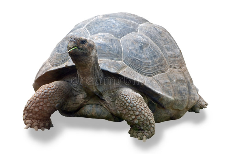 Galapagos turtle stock photos