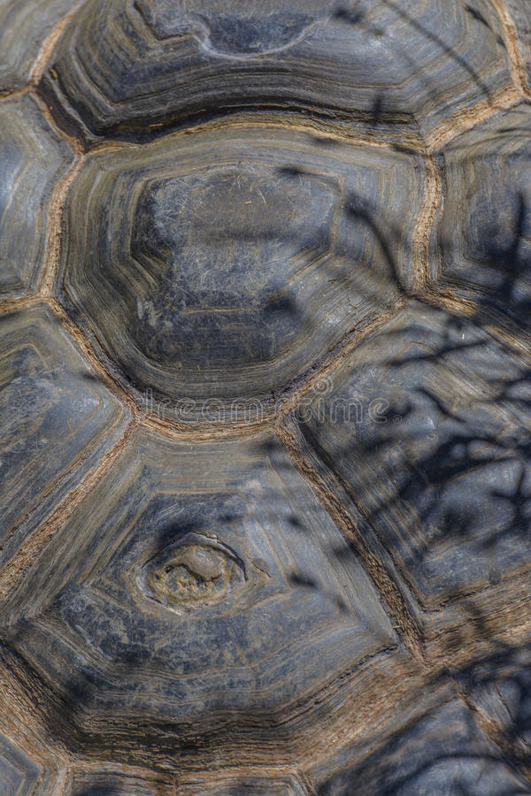 Galapagos turtle shell. Huge shell of a Galapagos turtle royalty free stock images