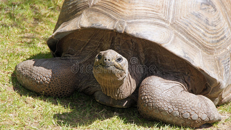 Galapagos turtle in zoo de Beauval stock image