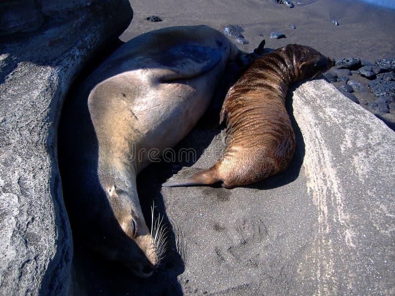 galapagos wysp foki obrazy stock