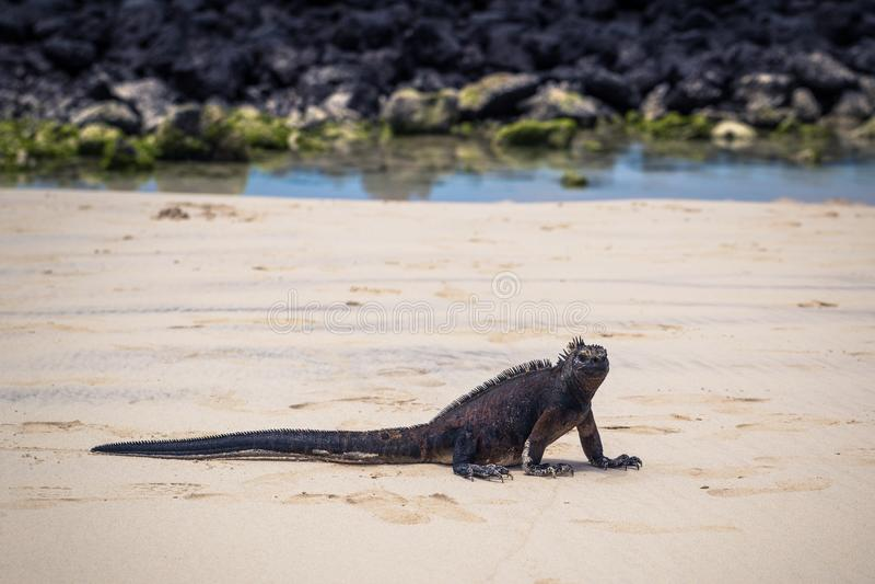 Galapagos wyspy - Sierpień 23, 2017: Morskie iguany w Tortuga zatoce w Santa Cruz wyspie, Galapagos wyspy, Ekwador obrazy stock