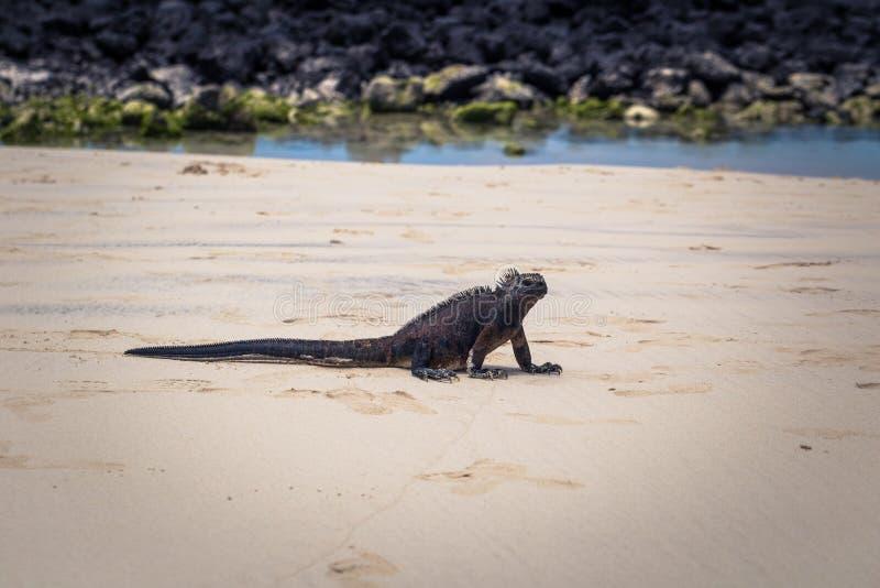 Galapagos wyspy - Sierpień 23, 2017: Morskie iguany w Tortuga zatoce w Santa Cruz wyspie, Galapagos wyspy, Ekwador fotografia stock