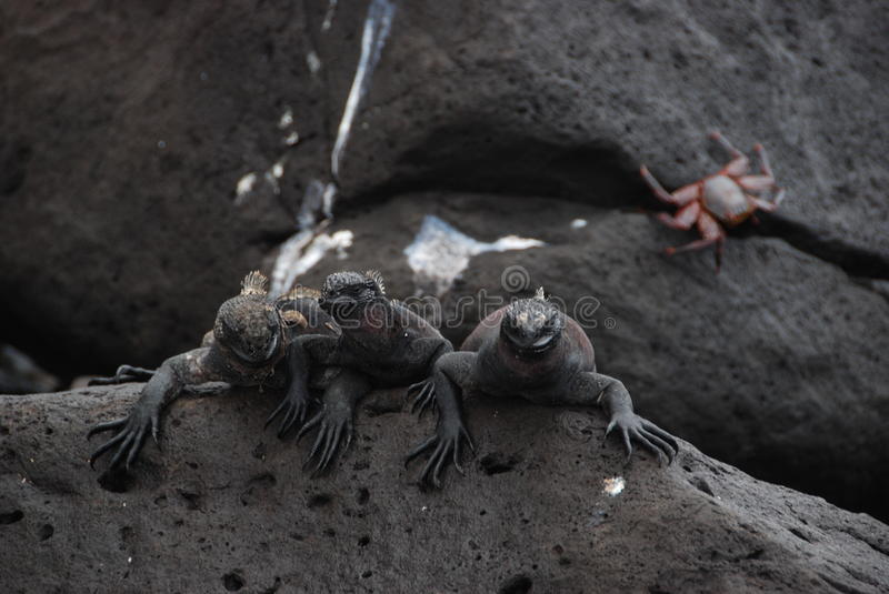 Download Galapaogs Iguanas stock image. Image of life, south, islands - 12278987