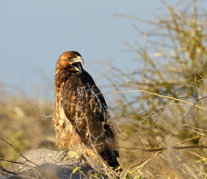 Galapogos Hawk, Galapagos Islands, Ecuador royalty free stock photo