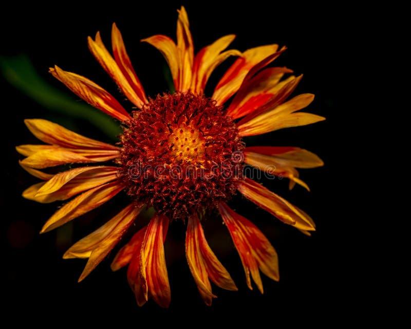 Galardia Ã- grandiflora przeciw czarnemu tłu zdjęcie stock
