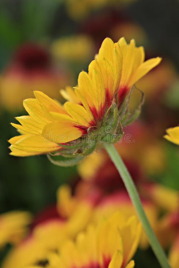 Galardia grandiflora obraz stock