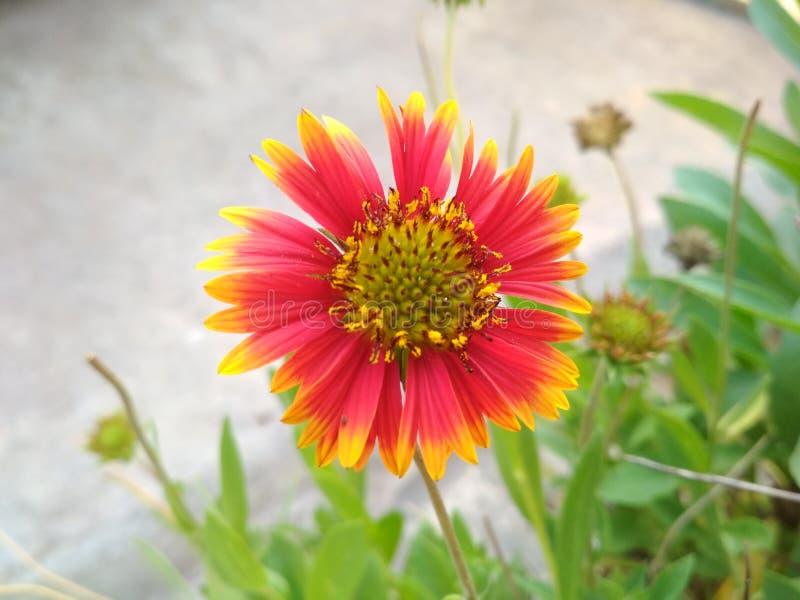 Galardia kwiat obrazy stock