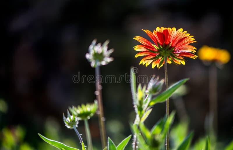 Galardia kwiaty obraz royalty free