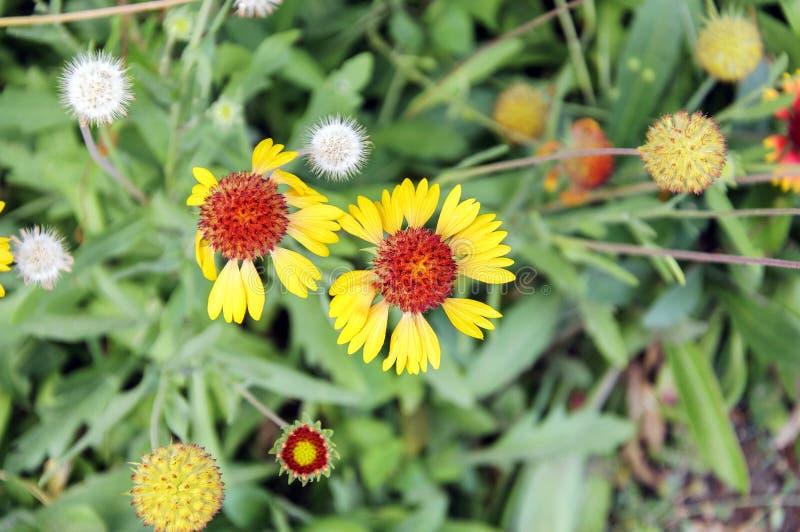 Galardia Powszechny kwiat zdjęcie stock
