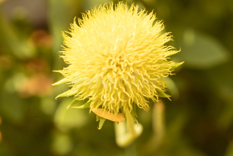 Galardii fanfary kwiat zdjęcia royalty free