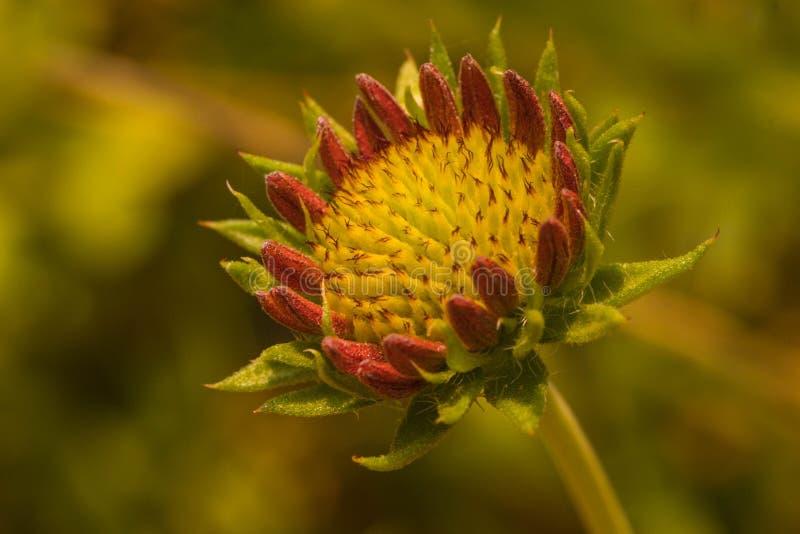 Galardii fanfary kwiat fotografia royalty free