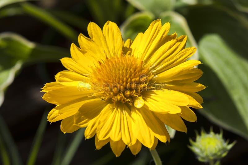 Galardii x mes grandiflora brzoskwinia zdjęcie stock