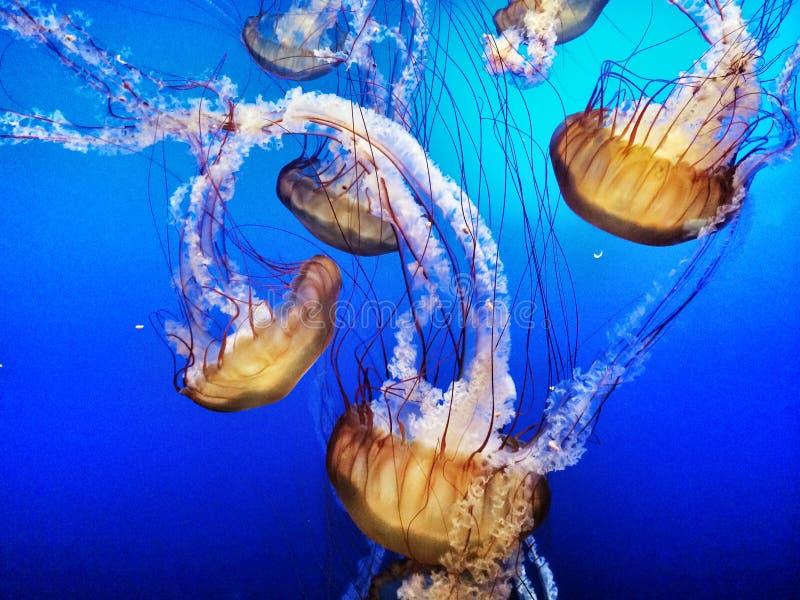 Galaretowa ryba w błękitne wody zdjęcia royalty free