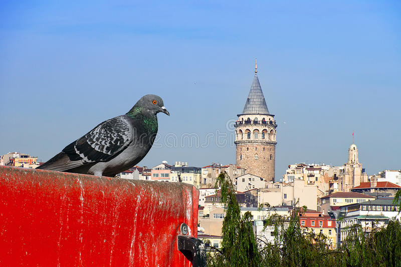 Galata and the pigeon. Red-eyed pigeon Galata tower watching royalty free stock photos