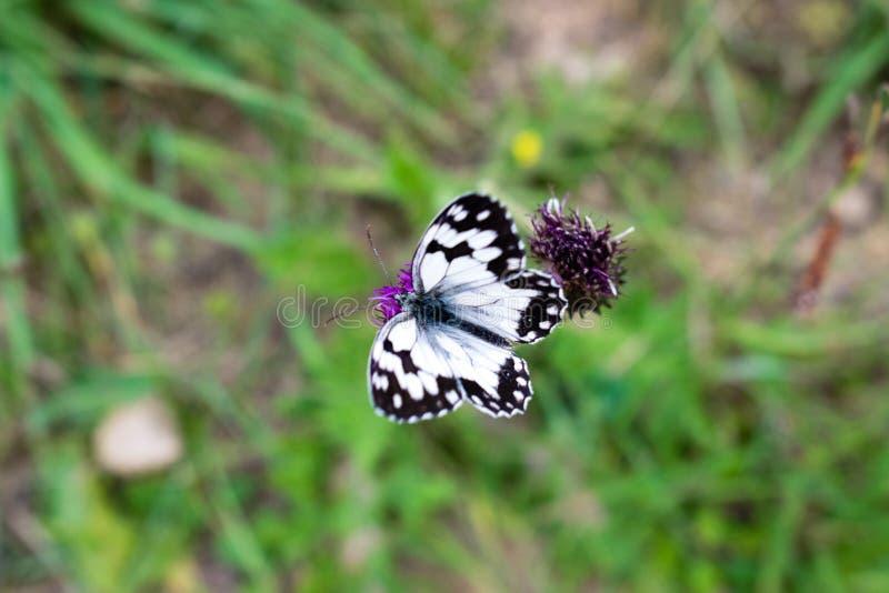 Galathea bianco marmorizzato di Melanargia della farfalla sul fiore porpora fotografia stock libera da diritti