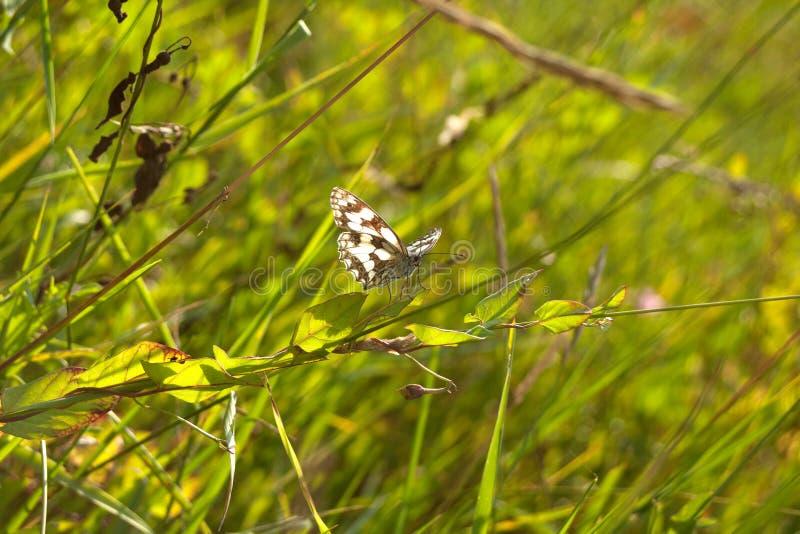 Galathea blanco veteado de Melanargia de la mariposa fotos de archivo libres de regalías
