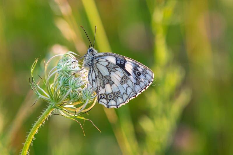 Galathea blanco veteado de Melanargia de la mariposa que descansa sobre wildflowers en puesta del sol de la oscuridad de la últim imagen de archivo