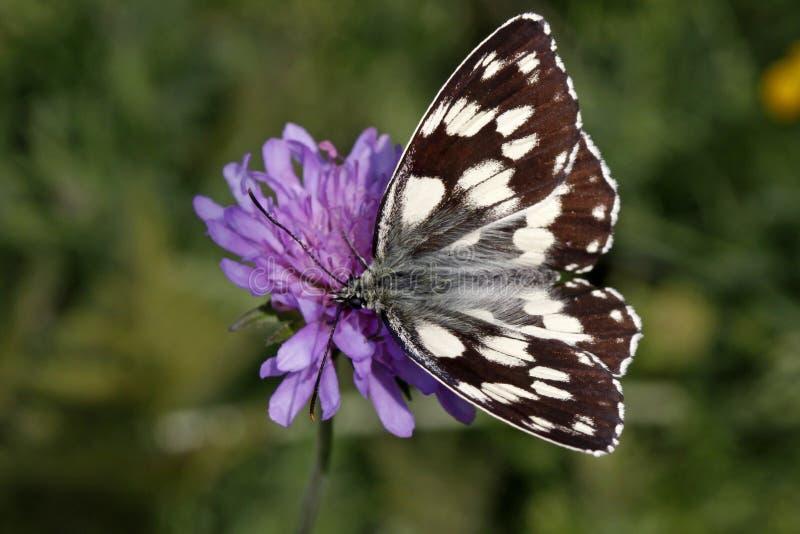 Galathea di Melanargia, farfalla bianca marmorizzata immagini stock