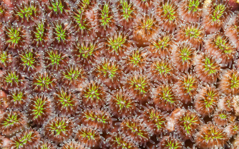 Galaxea coral royalty free stock image
