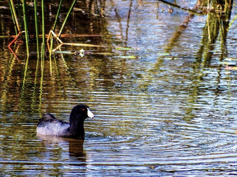 Galeirão americano, apreciando um canal dos pantanais de Florida imagem de stock