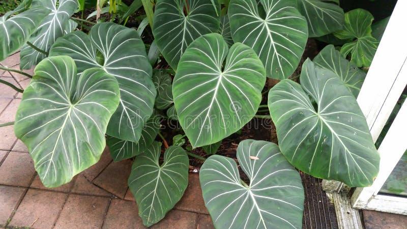 Galen houseplant royaltyfri fotografi