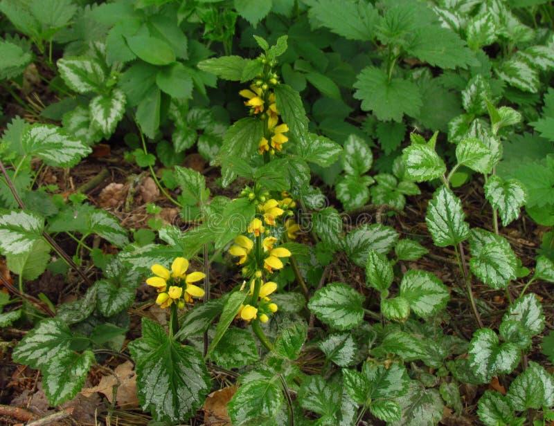 Galeobdolon de Lamiastrum l'autre luteum de Galeobdolon de nom, herbe fleurissante jaune ?ternelle photographie stock