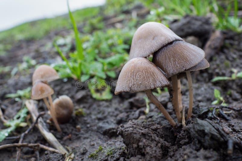 Galericulata de Mycena ou champignon commun de capot photos libres de droits