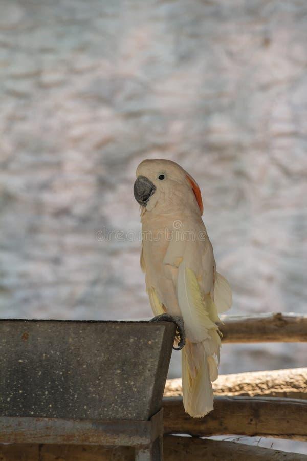 Galerita del Cacatua - cacatua bianca della cacatua Zolfo-crestata grande e gialla sui rami immagine stock libera da diritti