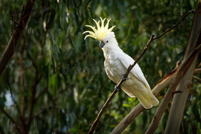 Galerita del Cacatua - cacatúa Azufre-con cresta que se sienta en la rama en Australia fotos de archivo libres de regalías