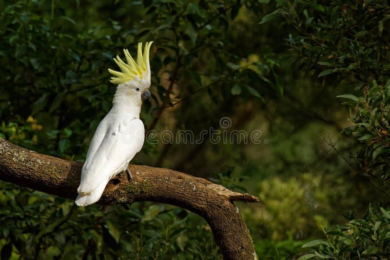 Galerita del Cacatua - cacatúa Azufre-con cresta que se sienta en la rama en Australia imagenes de archivo