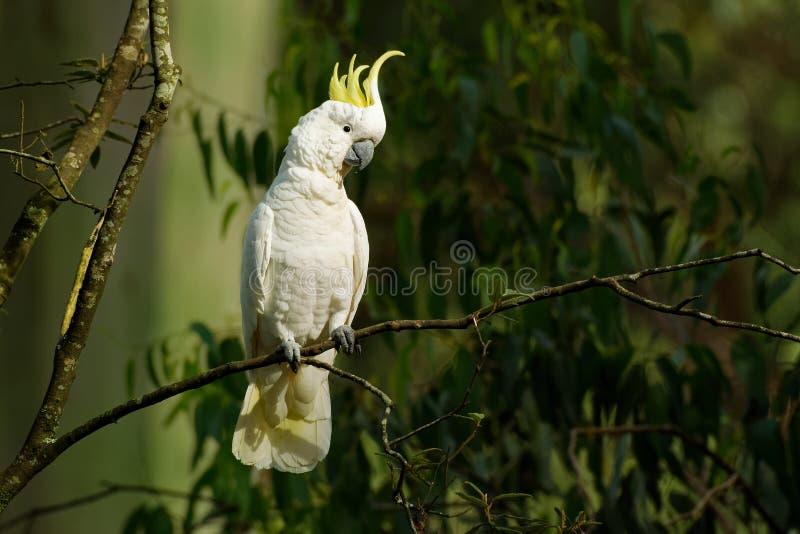 Galerita del Cacatua - cacat?a Azufre-con cresta que se sienta en la rama en Australia Cacat?a blanca y amarilla grande con verde foto de archivo libre de regalías