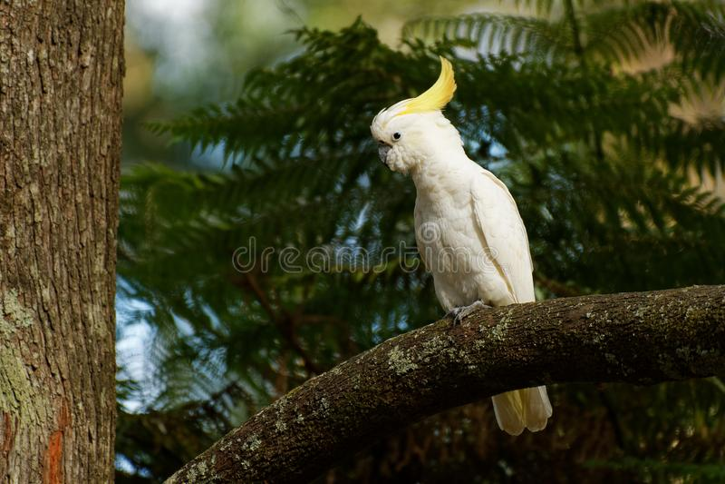 Galerita del Cacatua - cacat?a Azufre-con cresta que se sienta en la rama en Australia Cacat?a blanca y amarilla grande con verde foto de archivo