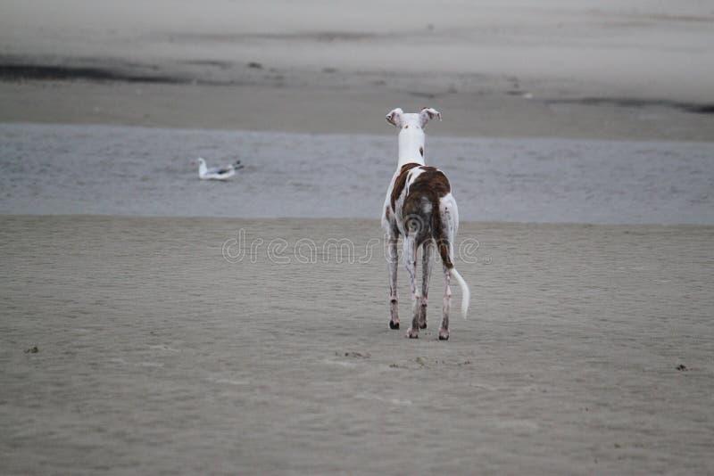 Galgo стоит на море стоковые фото