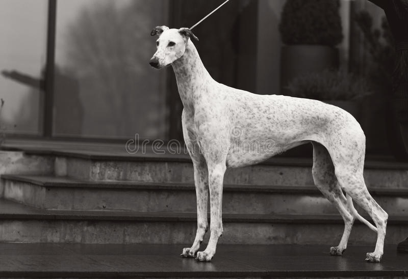 Galgo foto de stock royalty free