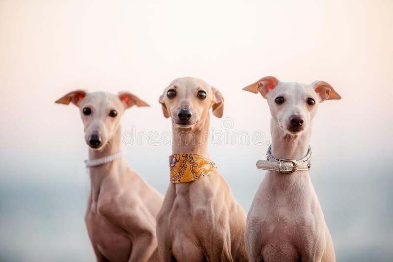 Galgo de italiano roxo elegante de três cães, retrato fotos de stock royalty free