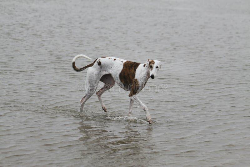 Galgo de marche dans l'eau image libre de droits