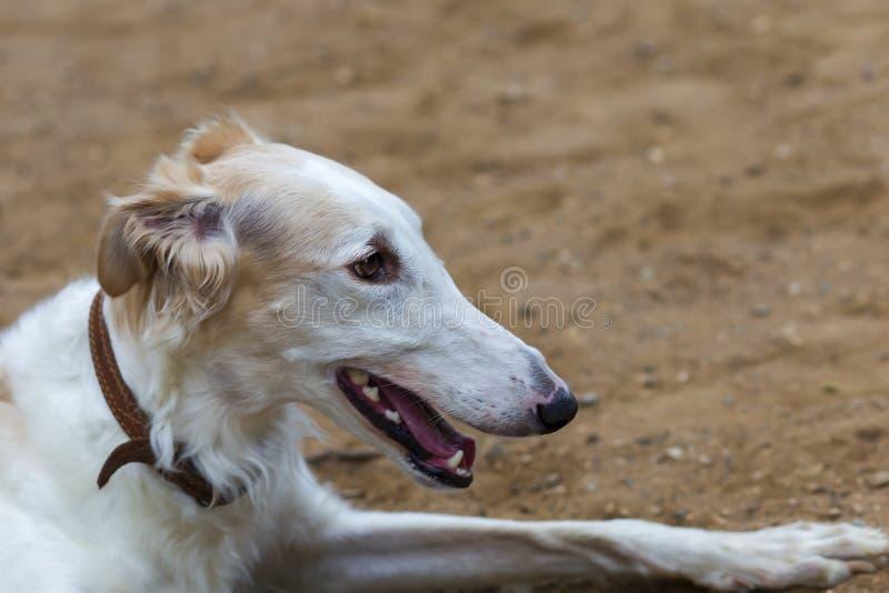 Galgo do russo da raça do cão, close-up fotografia de stock royalty free