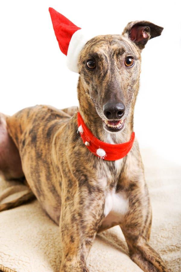 Galgo en traje de la Navidad imagen de archivo libre de regalías
