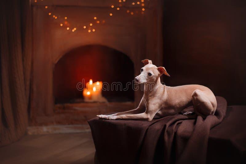Galgo italiano em um fundo da cor no estúdio fotografia de stock royalty free