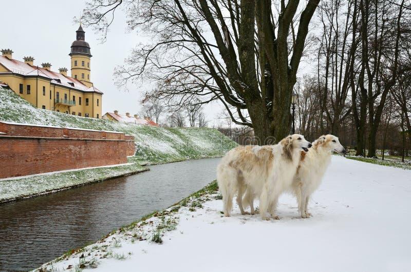 Galgos rusos fotografía de archivo