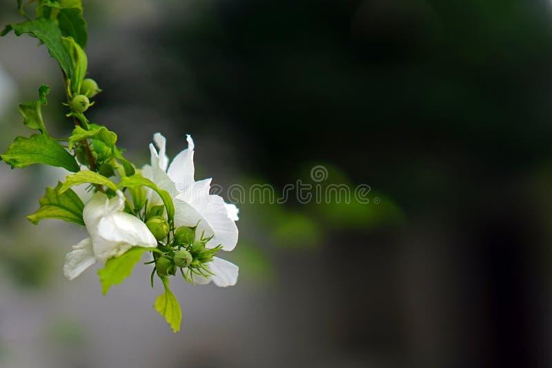 Galho bonito com a flor branca no fundo borrado em Parikia, Paros, Grécia imagem de stock