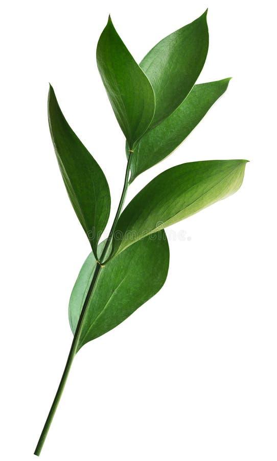 Galho com as folhas verdes do ruscus imagem de stock